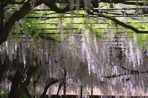 藤の花 日本古来の花の写真素材 [FYI04799160]