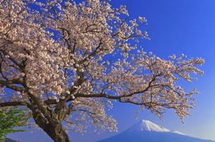雁公園の桜と富士山の写真素材 [FYI04799236]