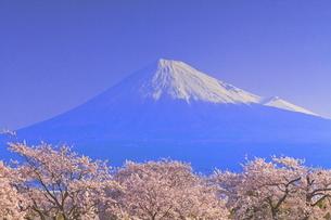 雁公園の桜と富士山の写真素材 [FYI04799241]