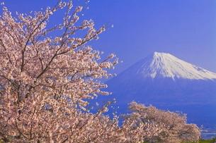 雁公園の桜と富士山の写真素材 [FYI04799243]