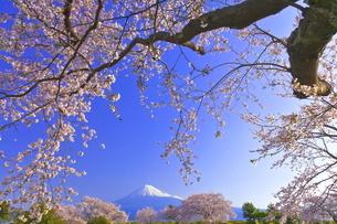 雁公園の桜と富士山の写真素材 [FYI04799245]