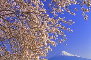 雁公園の桜と富士山の写真素材 [FYI04799246]