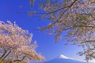 雁公園の桜と富士山の写真素材 [FYI04799247]