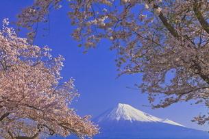 雁公園の桜と富士山の写真素材 [FYI04799250]