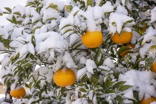 甘夏の雪景色の写真素材 [FYI04799439]