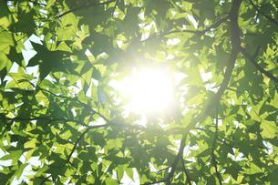 新緑と木漏れ日の写真素材 [FYI04799503]