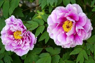 牡丹の花の写真素材 [FYI04799656]