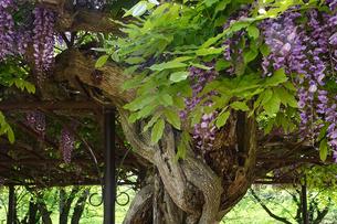 藤の花の写真素材 [FYI04799657]
