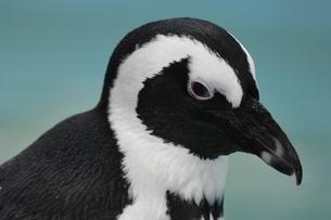 ケープペンギンの写真素材 [FYI04799942]