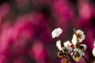 紅梅を背景に映える白梅の写真素材 [FYI04800113]