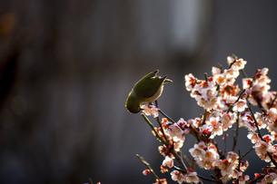 梅の木とめじろの写真素材 [FYI04800119]