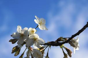 春の陽気と桜の写真素材 [FYI04800120]