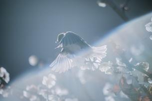 満開の梅の中から飛び立った瞬間のメジロの写真素材 [FYI04800137]