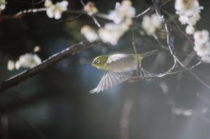 満開の梅の中から飛び立った瞬間のメジロの写真素材 [FYI04800139]