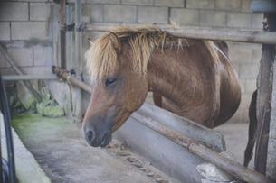 沖縄県宮古列島の宮古島の希少な日本在在来馬8馬種のひとつの宮古馬の写真素材 [FYI04800206]