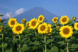 富士山とヒマワリの写真素材 [FYI04800230]