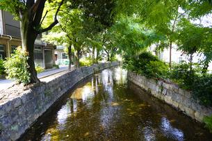 新緑の高瀬川の写真素材 [FYI04800351]