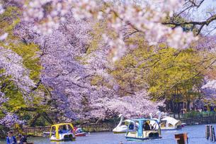 満開の桜とアヒルボート(井の頭公園)の写真素材 [FYI04800438]