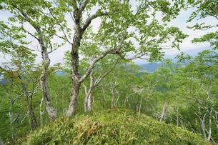 ダケカンバの森の写真素材 [FYI04800458]