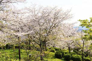桜 うららかな春の季節 美しい桜風景 日本・熊本県菊池市2020年春の写真素材 [FYI04800707]