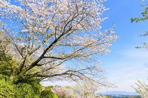 桜 うららかな春の季節 美しい桜風景 日本・熊本県菊池市2020年春の写真素材 [FYI04800737]
