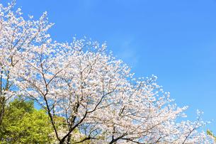 桜 うららかな春の季節 美しい桜風景 日本・熊本県菊池市2020年春の写真素材 [FYI04800738]