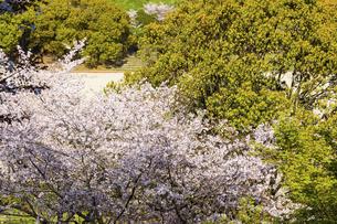 桜 うららかな春の季節 美しい桜風景 日本・熊本県菊池市2020年春の写真素材 [FYI04800747]