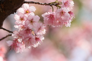 椿寒桜 寒桜 桜の写真素材 [FYI04800785]