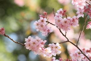 椿寒桜 寒桜 桜の写真素材 [FYI04800786]