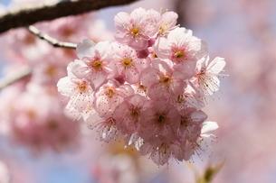 椿寒桜 寒桜 桜の写真素材 [FYI04800787]