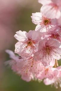 椿寒桜 寒桜 桜の写真素材 [FYI04800789]