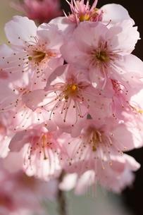 椿寒桜 寒桜 桜の写真素材 [FYI04800792]