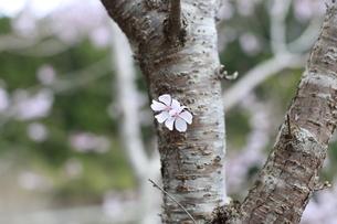桜の写真素材 [FYI04800895]