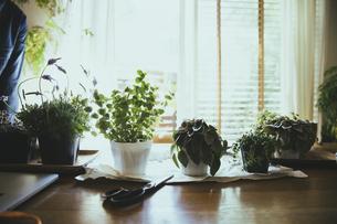 観葉植物の植え替えする風景の写真素材 [FYI04801095]