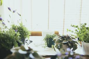 観葉植物の植え替えする風景の写真素材 [FYI04801097]