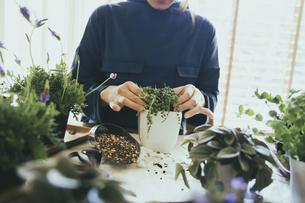 観葉植物の植え替えする風景の写真素材 [FYI04801099]