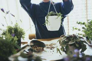観葉植物の植え替えする風景の写真素材 [FYI04801101]