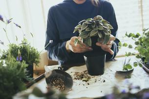 観葉植物の植え替えする風景の写真素材 [FYI04801102]