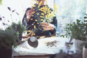 黄色の花のミモザを持つ女性の写真素材 [FYI04801107]