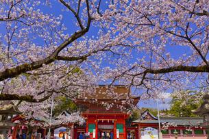 桜咲く富士山本宮浅間大社の楼門の写真素材 [FYI04801168]