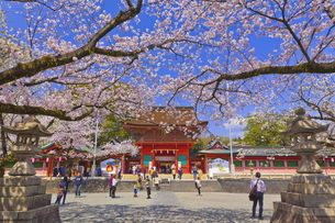 桜咲く富士山本宮浅間大社の楼門の写真素材 [FYI04801169]