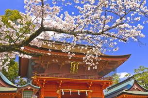 桜咲く富士山本宮浅間大社の楼門の写真素材 [FYI04801171]