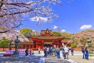 桜咲く富士山本宮浅間大社の拝殿の写真素材 [FYI04801176]
