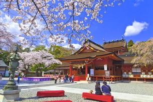 桜咲く富士山本宮浅間大社の拝殿と本殿の写真素材 [FYI04801177]