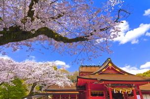 桜咲く富士山本宮浅間大社の拝殿と本殿の写真素材 [FYI04801178]
