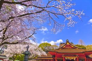 桜咲く富士山本宮浅間大社の拝殿と本殿の写真素材 [FYI04801179]