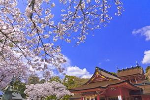 桜咲く富士山本宮浅間大社の拝殿と本殿の写真素材 [FYI04801180]