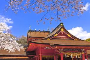 桜咲く富士山本宮浅間大社の拝殿と本殿の写真素材 [FYI04801182]