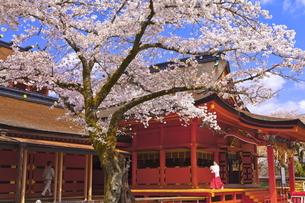 桜咲く富士山本宮浅間大社の拝殿の写真素材 [FYI04801183]