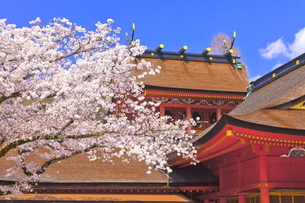 桜咲く富士山本宮浅間大社の拝殿と本殿の写真素材 [FYI04801185]